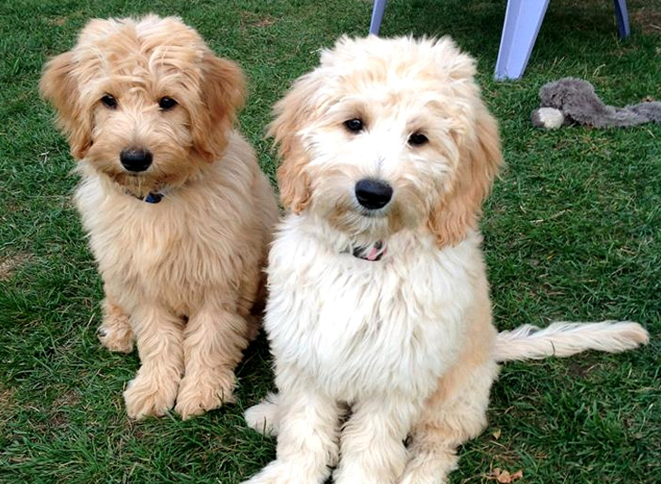 Our Dogs - Happy Hound Goldendoodle Breeder